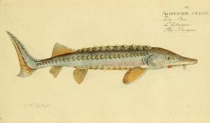鱘龍魚-少數生活在水中的活化石